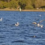 Swan river Pelican